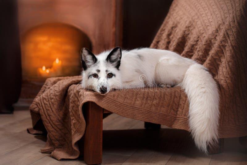 Renard arctique, lagopus de Vulpes images libres de droits
