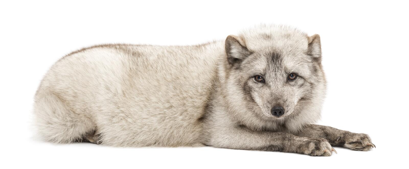 Renard arctique, lagopus de Vulpes, d'isolement sur le blanc image stock