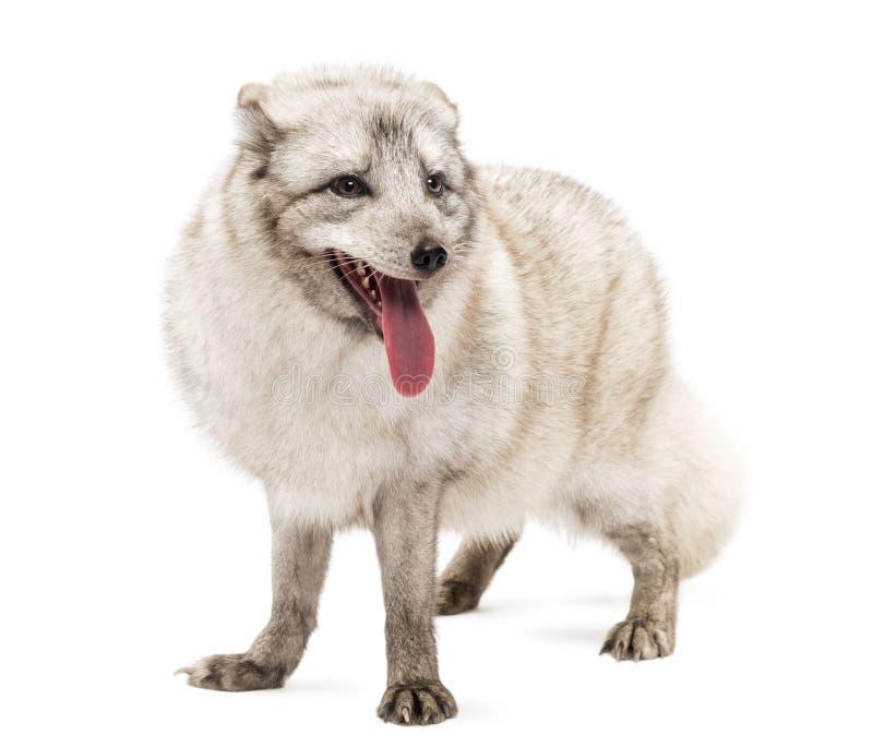 Renard arctique, position de lagopus de Vulpes, haletant, d'isolement sur le blanc photos libres de droits