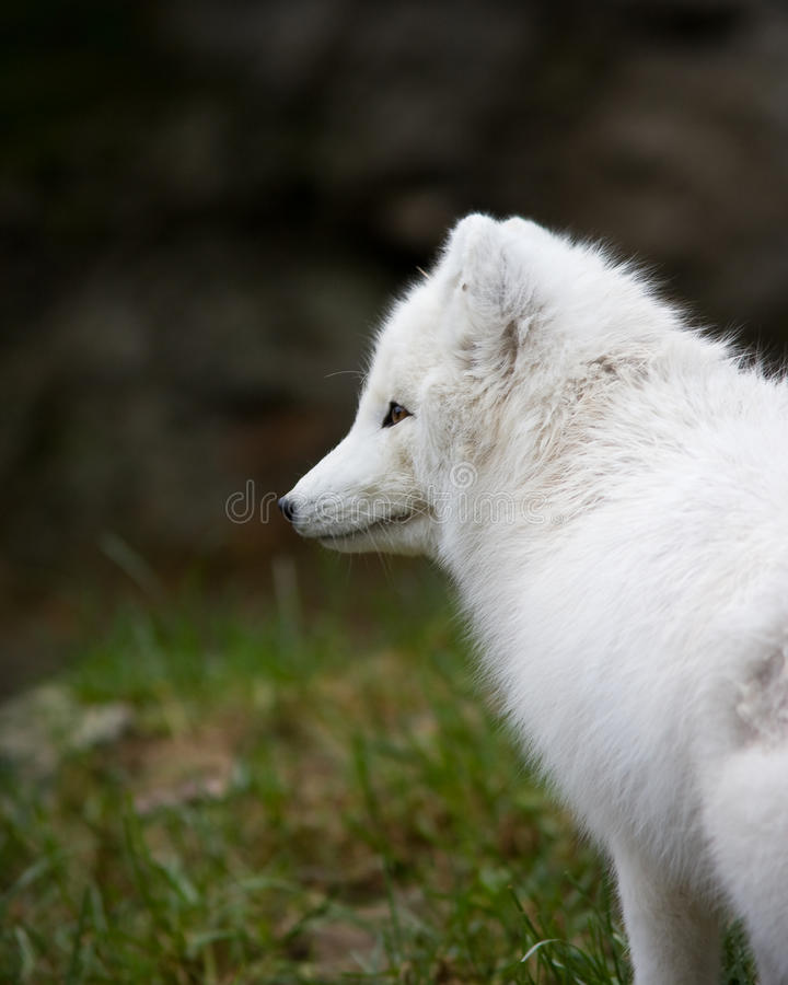 Renard Artic images libres de droits