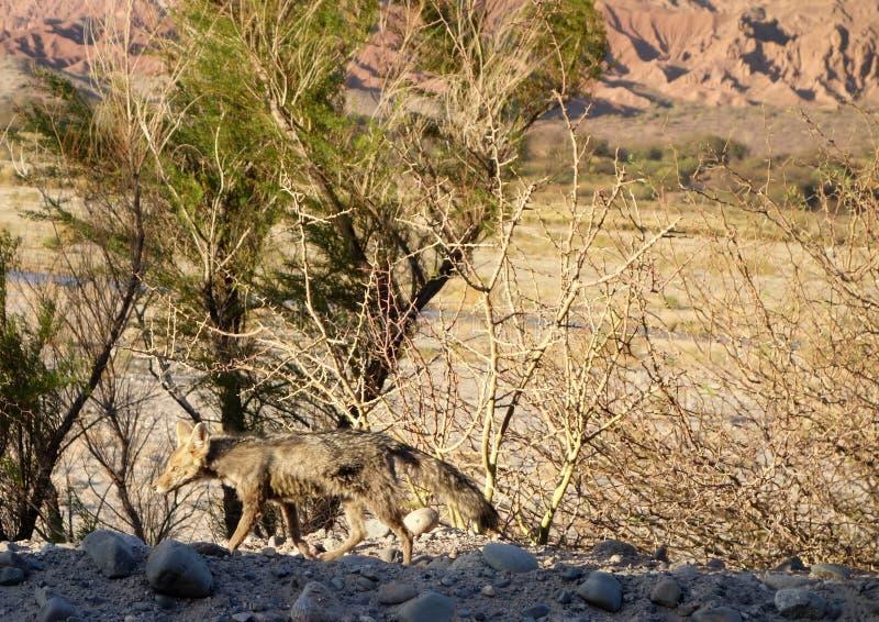 Renard camouflé de désert photographie stock