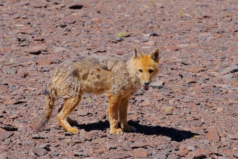 Renard, culpaeus andins de lycalopex, également connus sous le nom de culpeo, culpeo de zorro ou loup andin, près de Paso Pircas  photographie stock