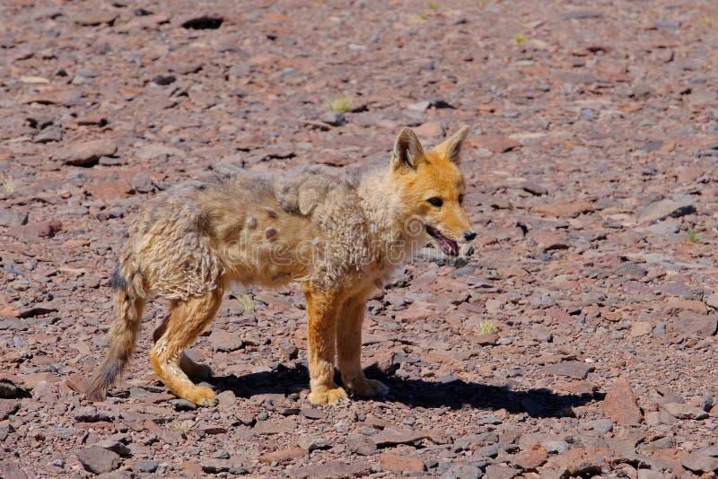 Renard, culpaeus andins de lycalopex, également connus sous le nom de culpeo, culpeo de zorro ou loup andin, près de Paso Pircas  photos libres de droits