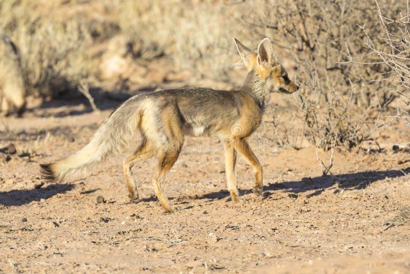 Renard de cap ou renard soutenu par l'argent, chama de Vulpes, parc franchissant les frontières de Kgalagadi images libres de droits