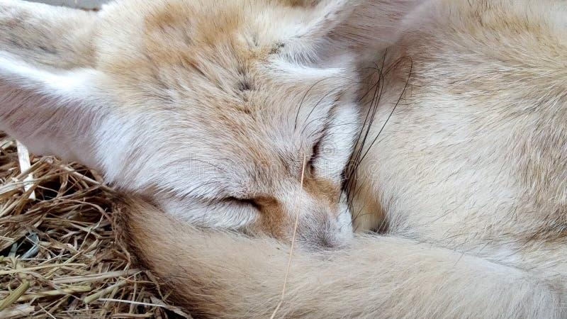 Renard de Fennec de renard de désert images stock