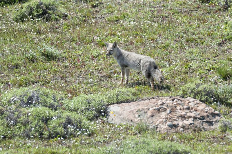 Renard gris dans le Patagonia chilien photographie stock libre de droits