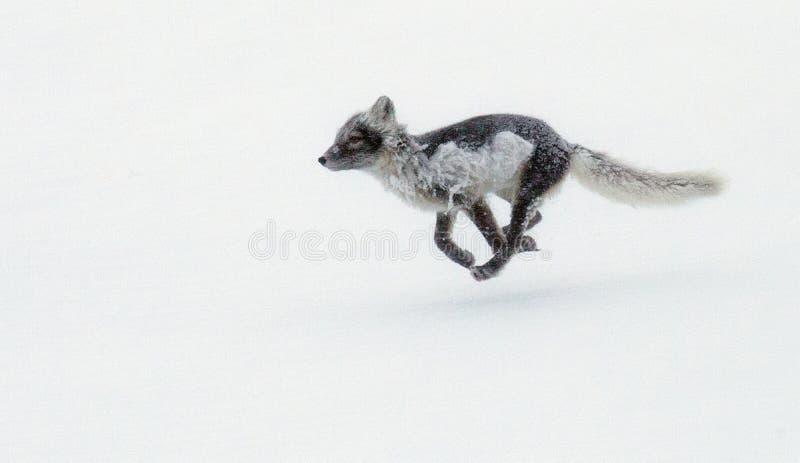 Renard polaire fonctionnant dans la tempête de neige photographie stock