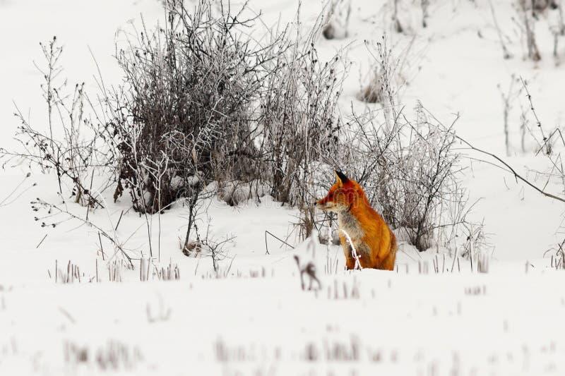 Renard rouge sur la neige photos stock