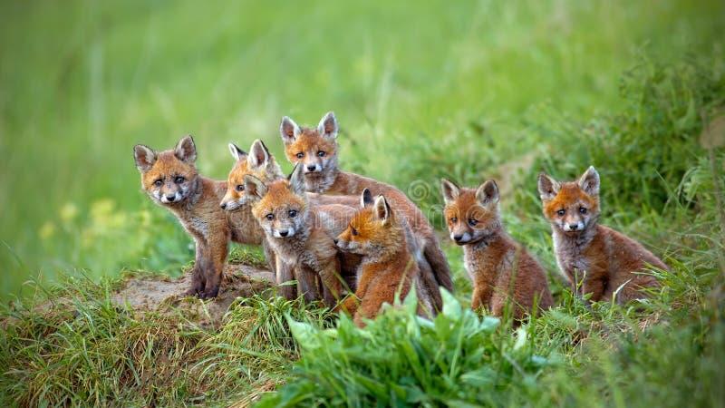 Renard rouge, vulpes de vulpes, petits animaux se reposant par le repaire photo libre de droits