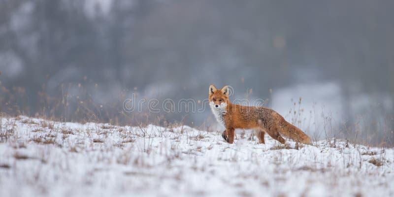Renard rouge, vulpes de vulpes, sur la neige en hiver images libres de droits