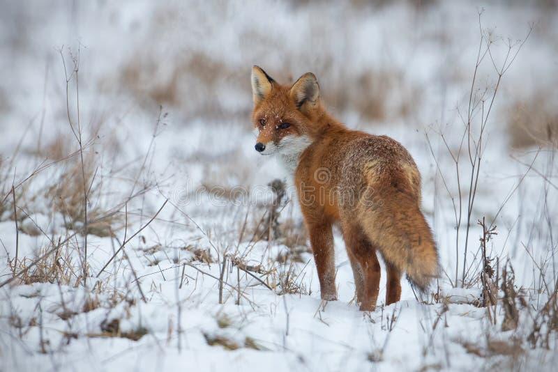 Renard rouge, vulpes de vulpes, sur la neige en hiver images stock