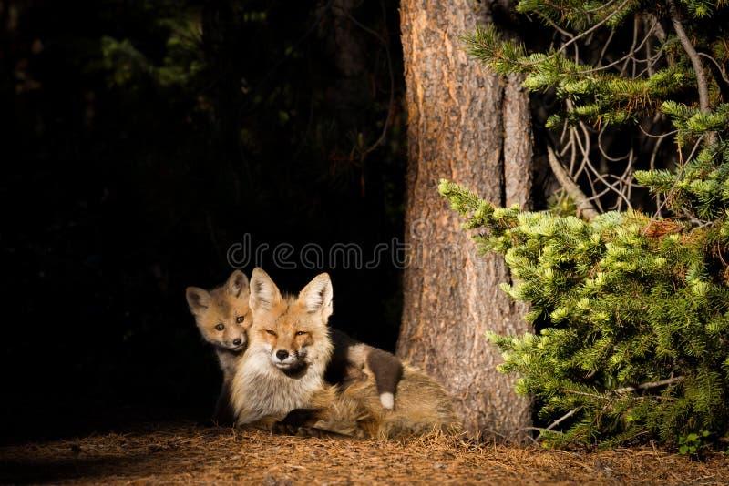 Renarde de renard rouge avec le kit image stock