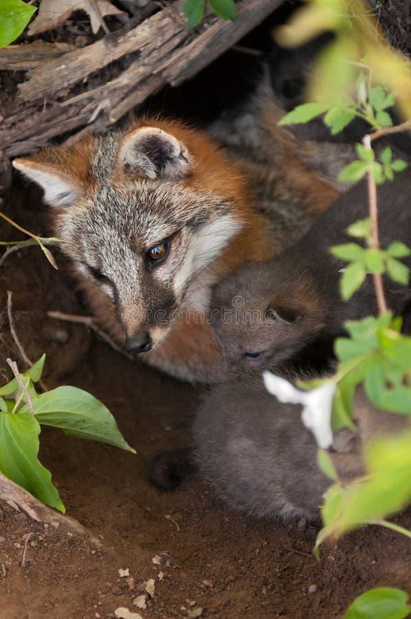 Renarde et kits de Grey Fox (cinereoargenteus d'Urocyon) en Den From A image stock