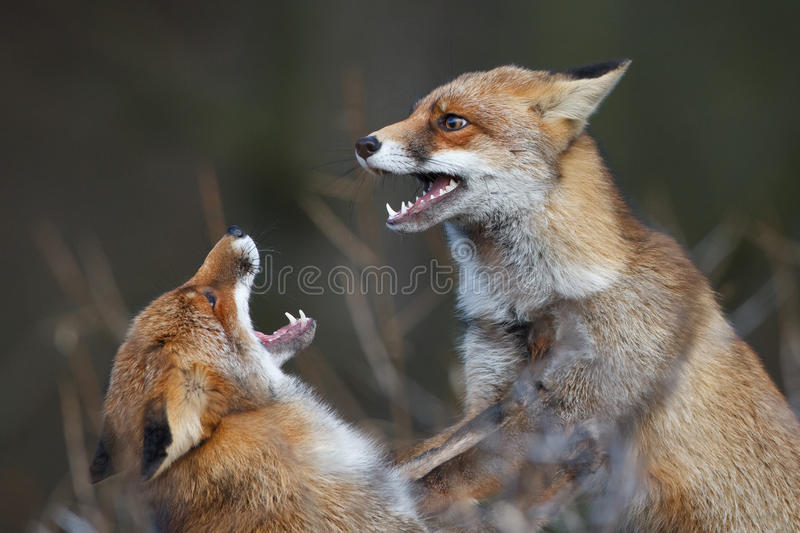 Renards de combat photo libre de droits