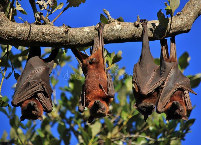 Renards de vol de sommeil enveloppés dans leurs ailes photographie stock