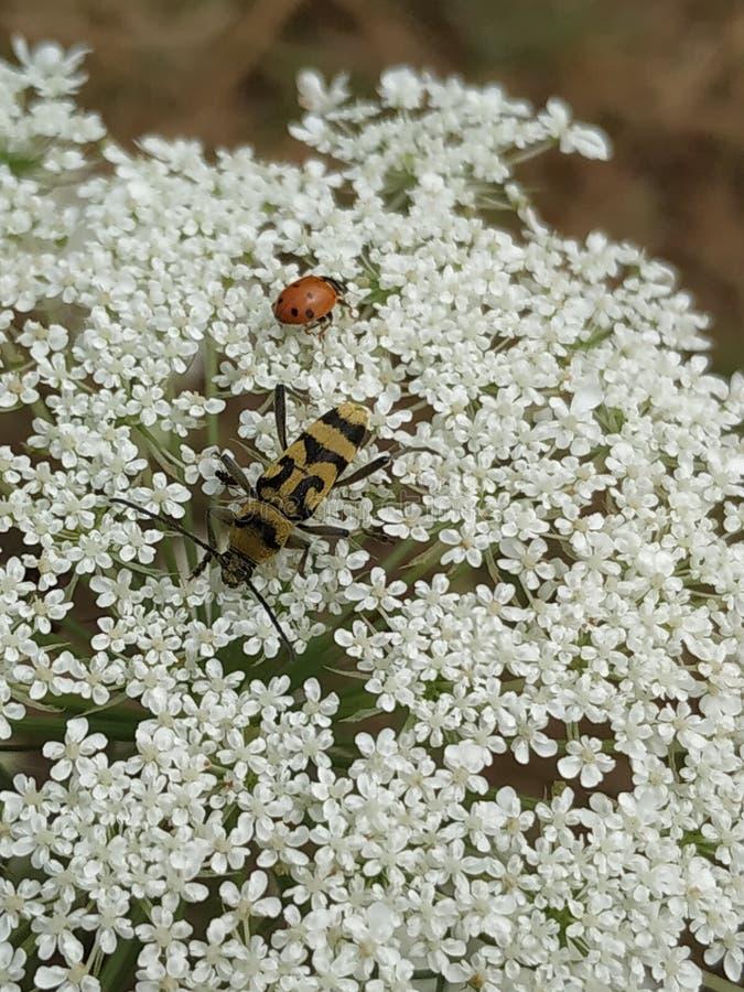 Rencontre entre le scarabée jaune de longhorn avec la coccinelle photos stock