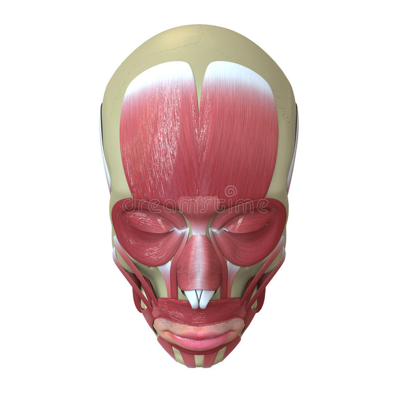 Rendered human skull with muscles royalty free illustration
