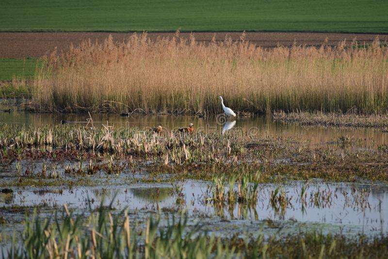 Rendezvous in the Wetland biotope royalty free stock images