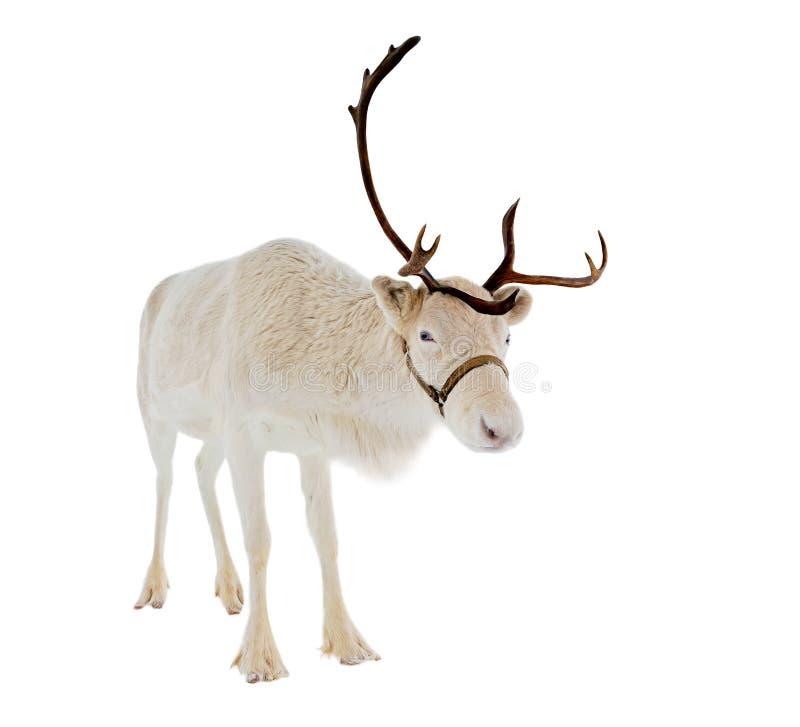 Rendier voor een witte achtergrond stock afbeeldingen