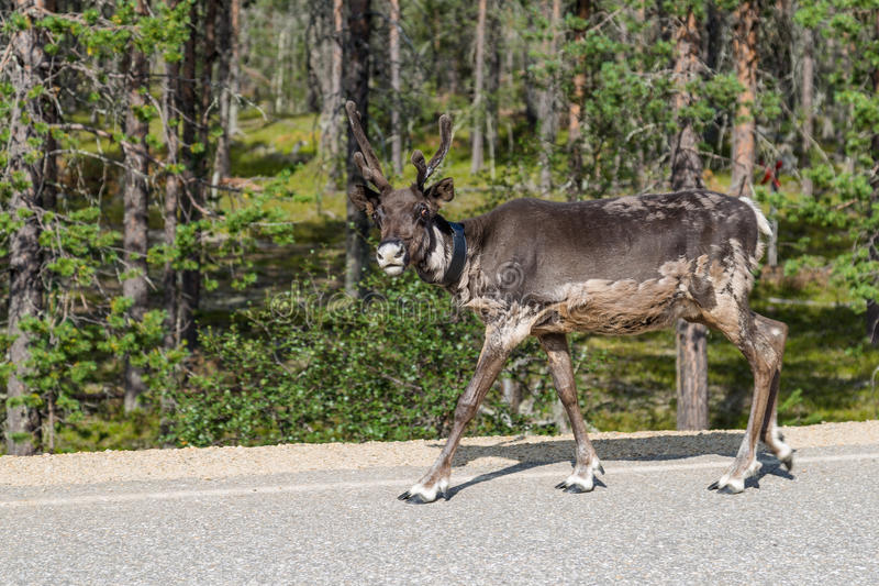 Rendier die langs de weg in Finland lopen royalty-vrije stock afbeeldingen