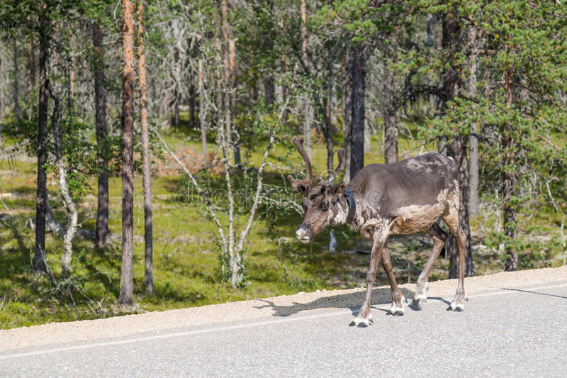 Rendier die langs de weg in Finland lopen stock fotografie