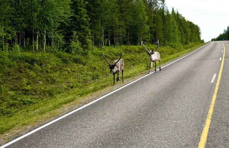 Rendier in Finland stock afbeeldingen