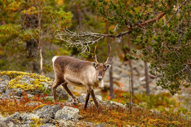 Rendier in het mooie de herfstbos, Finland stock afbeelding