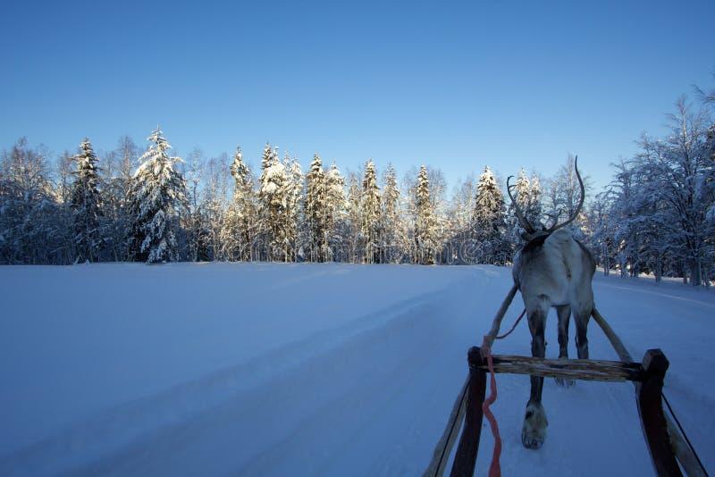 Rendier in Lapland stock afbeelding