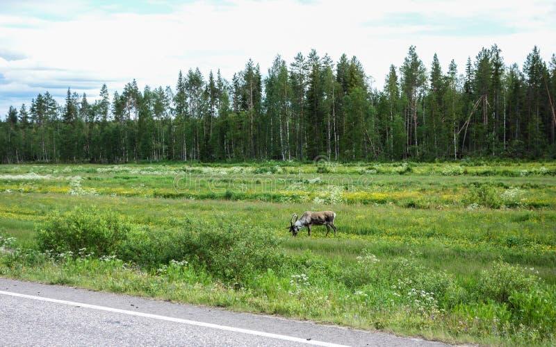 Rendier naast weg het voeden stock afbeeldingen