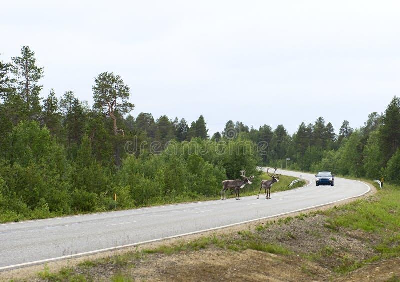 Rendier op de weg. Finland. royalty-vrije stock fotografie