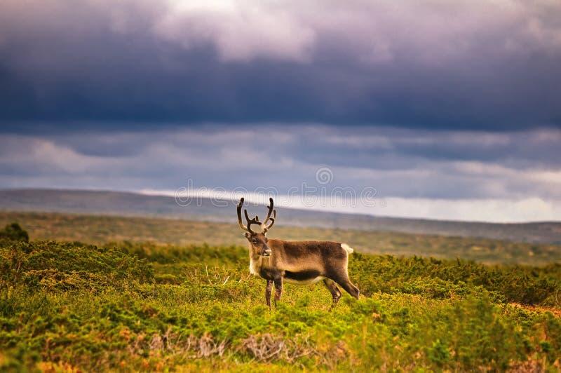 Rendier in platteland stock fotografie