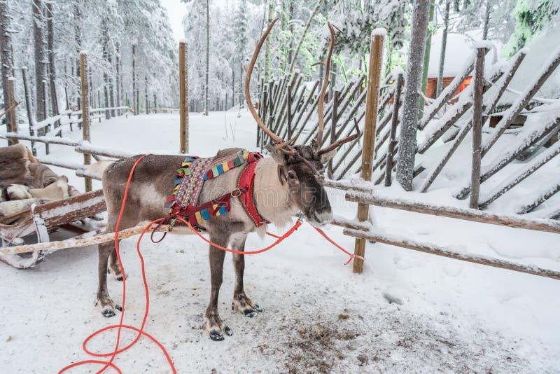 Rendier in Rovaniemi, Finland stock afbeeldingen