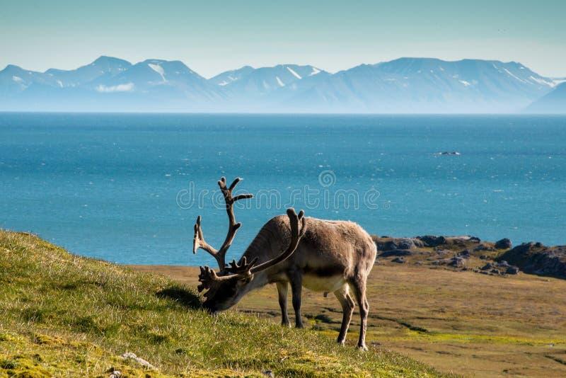 Rendier van Svalbard royalty-vrije stock afbeelding