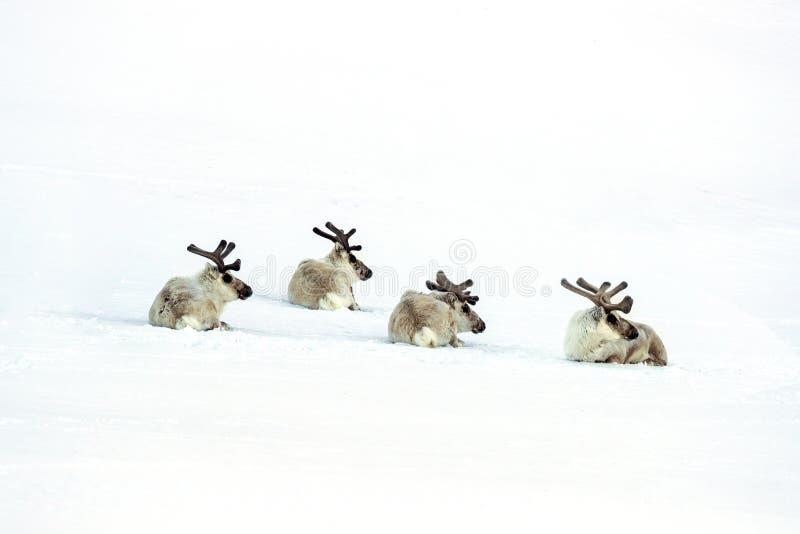 Rendier vier die in de sneeuw van Svalbard leggen royalty-vrije stock foto's