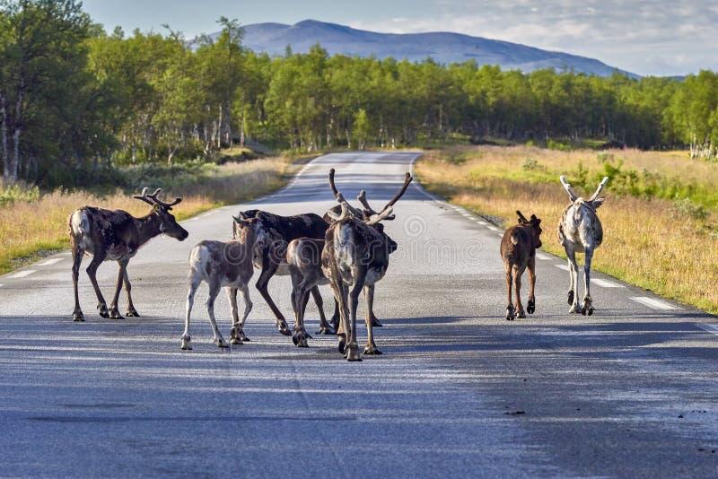 Rendieren in natuurlijk milieu, Roros-gebied stock foto's