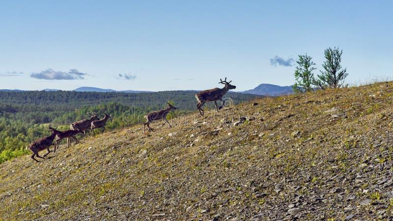 Rendieren in natuurlijk milieu, Roros-gebied stock afbeeldingen