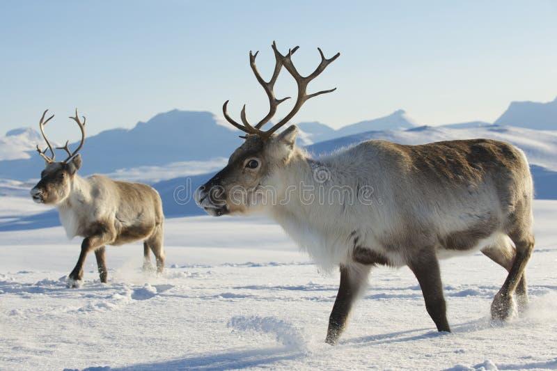 Rendieren in natuurlijk milieu, Tromso-gebied, Noordelijk Noorwegen stock foto's