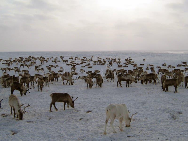 Rendieren op een yagelny weiland stock foto