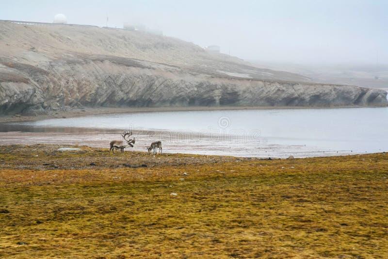 Rendieren op toendra, Spitsbergen royalty-vrije stock afbeeldingen
