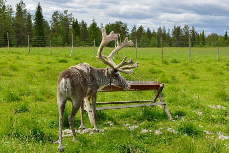 Rendierlandbouwbedrijf in noordelijk Finland, Lapland De zomer het ruien stock afbeelding