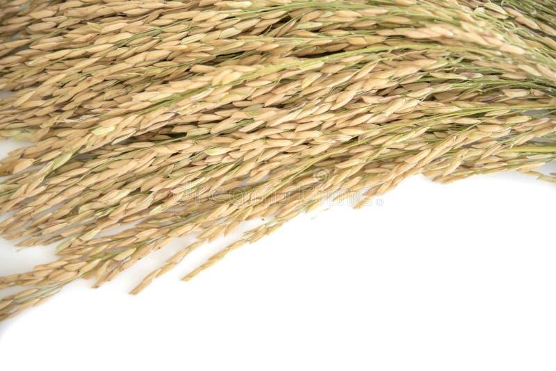 Rendimento del grano del riso o punte dorate del riso fotografie stock