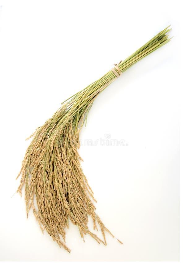 Rendimento del grano del riso o punte dorate del riso fotografia stock libera da diritti