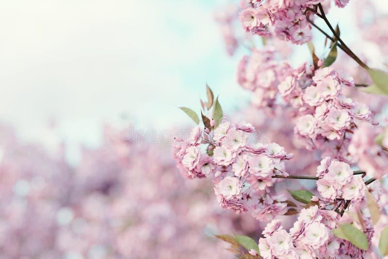 rendu 3d des fleurs de cerisier japonaises Foyer sélectif image stock