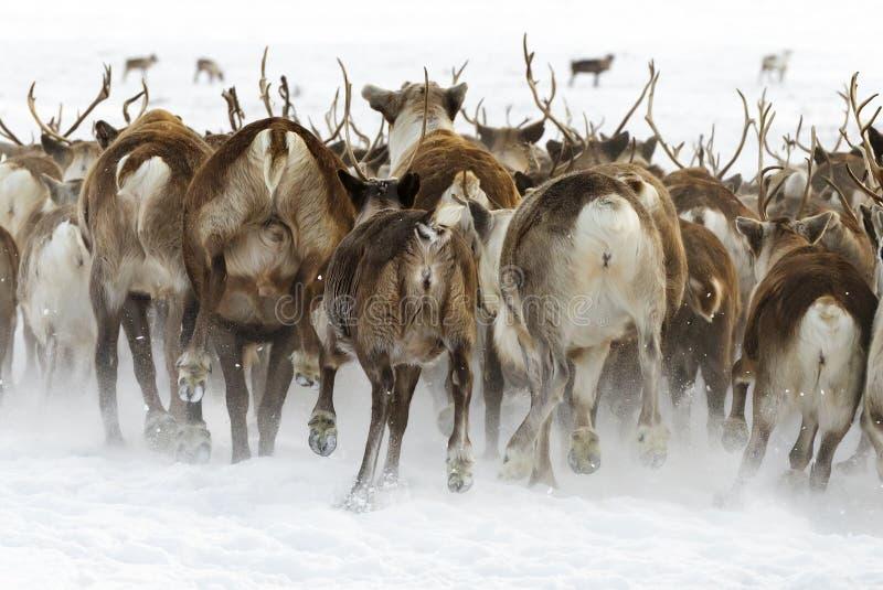 Rene wandern für bestes in der Tundra des Polarkreises an einem kalten Wintertag in der Nähe weiden lassen ab lizenzfreie stockfotos