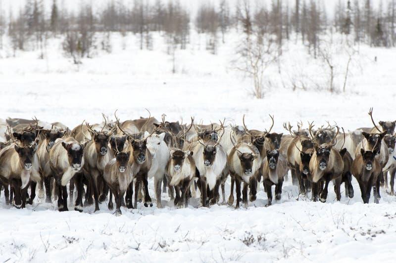 Rene wandern für ein bestes Weiden lassen in der Tundra ab lizenzfreie stockfotos