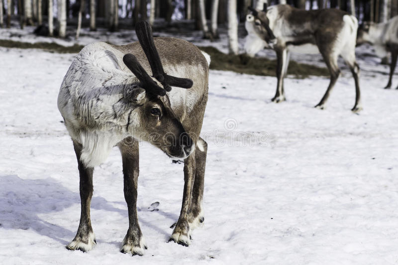 Renen i Finland arkivfoto
