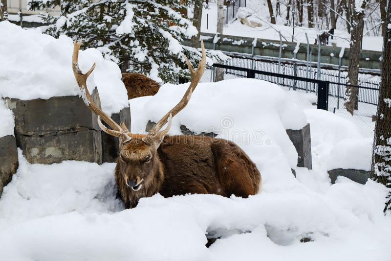 Renen sitter på snö royaltyfria foton