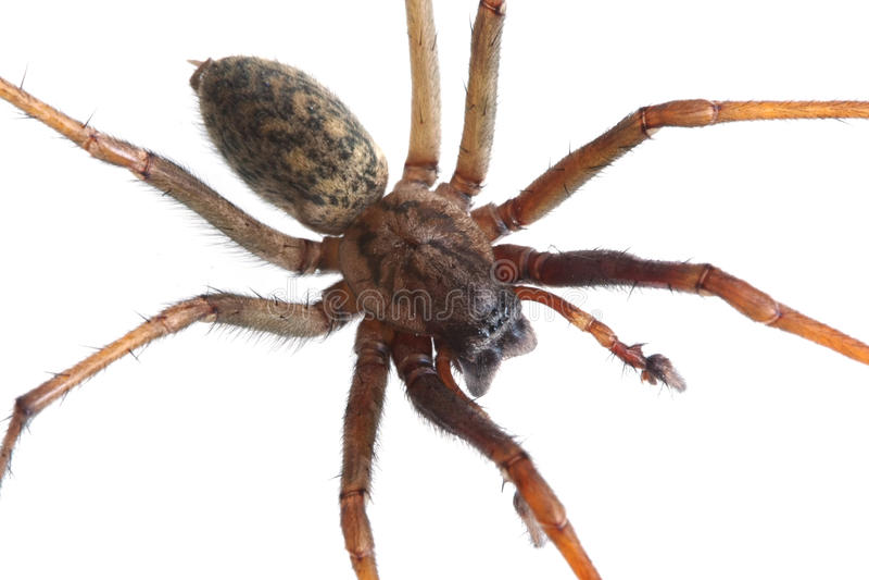 Renfermez l'araignée (atrica de Tegenaria), d'isolement photographie stock libre de droits