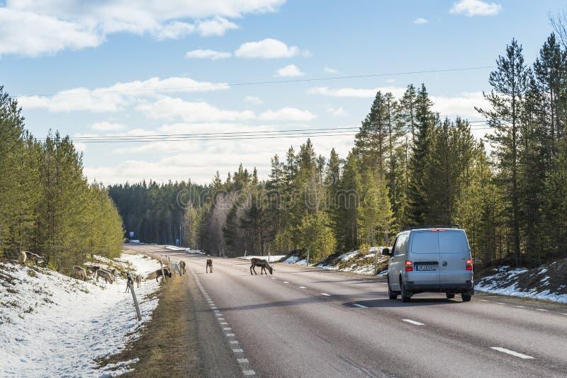 Renflock på vägen Sverige royaltyfri bild