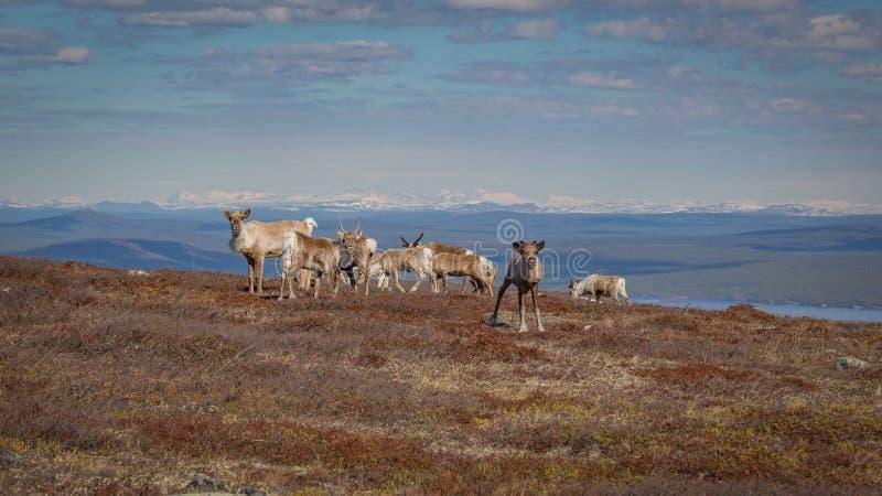 Renflock som betar på en bergssida i svenska Lapland med härlig utsikt i bakgrunden och nyfiket se för kalv royaltyfri foto